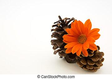 Orange glow of Gazania blossom with autumn pine cones