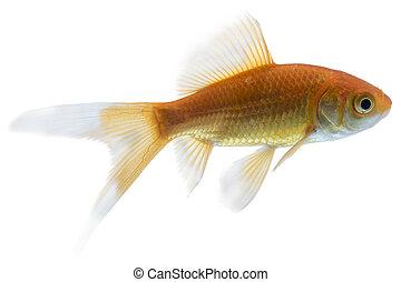 Gold Fish Isolated on White Background - Orange Gold Fish ...