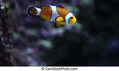 Orange goldfish in Aquarium