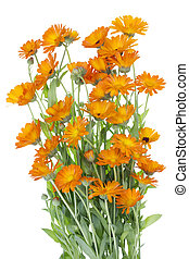 orange, grand, buisson, fleurs, isolé