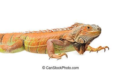 Orange green iguana isolated on white background