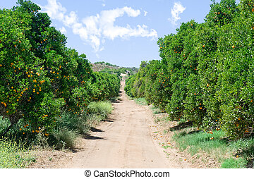 Orange grove - An orange grove with fresh, ripe oranges and ...