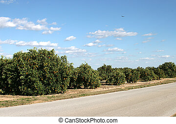 Orange Groves In Florida - Orange groves beside the highway...