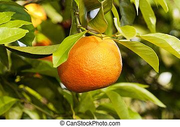 Orange hanging on a tree