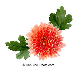 Orange hardy mum flower isolated on white background