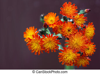 Orange Hawkweed - Beautiful bundle of fresh orange hawkweed...
