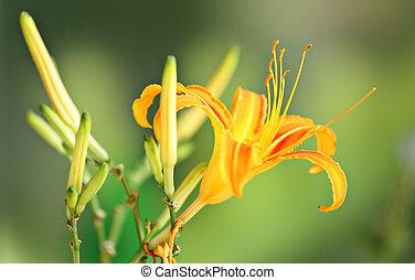 orange, hemerocallis, fleur