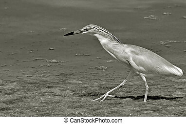 orange heron walking in the marsh searching preys