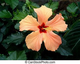 orange, hibiscus, 2