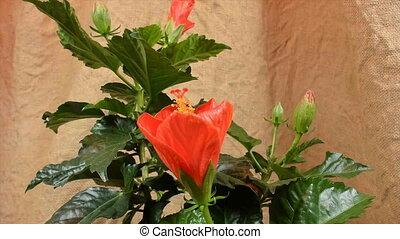 Orange hibiscus flower, time lapse video; with jute...