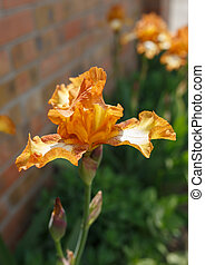 Orange iris flower close up photo