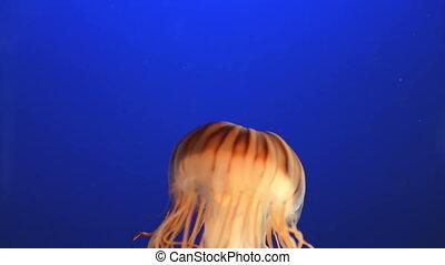 Orange jellyfish (Chrysaora fuscesc