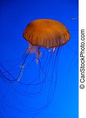 Orange jellyfish in an aquarium