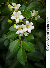 Orange Jessamine flowers. - orange jessamine flowers in the ...