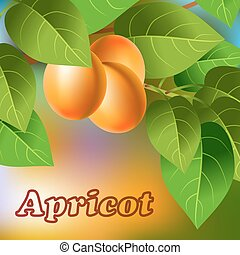 Orange, juicy, sweet apricots on a branch for your design. Vector