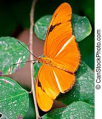 Orange Julia Butterfly - Butterfly in captivity