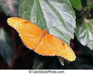Orange Julia Butterfly - Monotone orange butterfly on a leaf...
