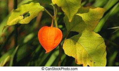 Orange lantern of physalis alkekengi among green leaves
