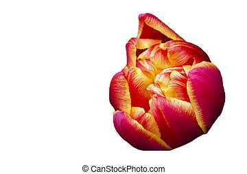 Orange large tulip on a white background. Beautiful flower isolated.