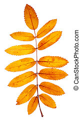 orange leaves mountain ash with stains isolated on a white