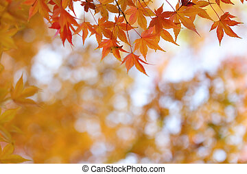 Orange leaves of japanese maple tree and abstract autumnal background