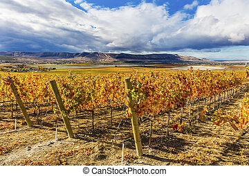 Orange Leaves Vines Rows Grapes Fall Vineyards Red Mountain ...