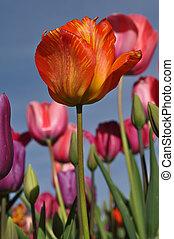 orange, ledig, tulpenblüte