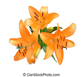orange lilie, blumen