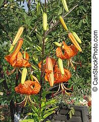 orange lilies in a garden