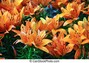Orange lilies in the garden
