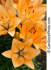 Orange lilies in the summer garden