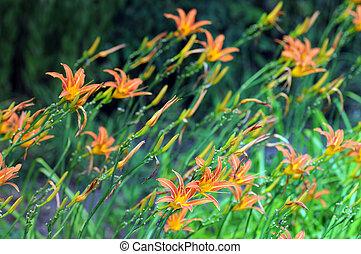 orange, lilith, (hemerocallis, jour, fulva)
