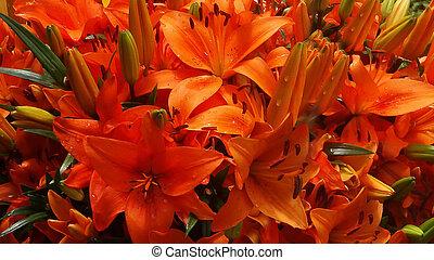 orange, lilly, 2, closeup