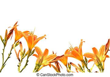Orange lilly frame isolated on white background