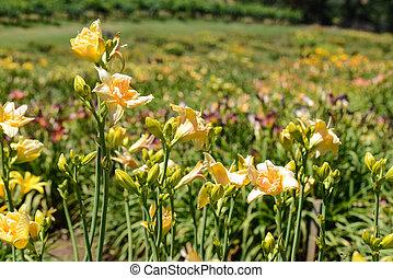 Orange Lilly in a Garden