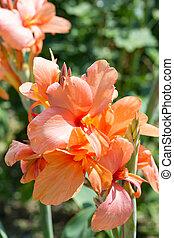 Orange lily closeup