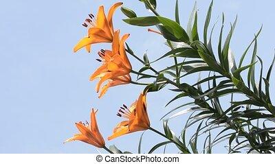 Orange lily facing left