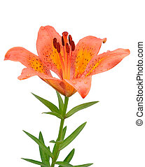 orange lily flower isolated on white background