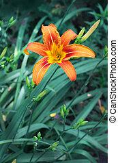 Orange lily flower,Lilium