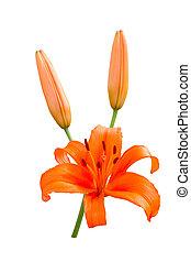 Orange lily isolated on white background