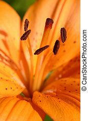orange, lis tigre