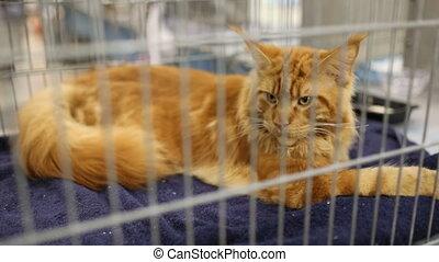 Orange Maine Coon Cat At Exhibition - Orange purebreed Maine...