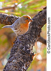 Orange Male House Finches
