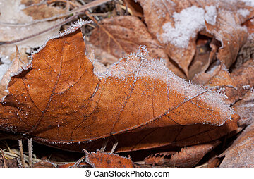 Orange maole leaf is lying on a ground and covered with snow and hoarfrost.