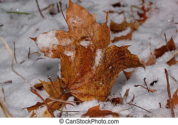 Orange maple leaves are lying on a ground and covered with snow and hoarfrost.