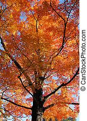 Orange Fall Foliage colors of Maple tree in Autumn