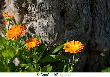 Orange Marigold Flowers