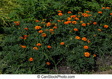 orange marigold flowers in the garden