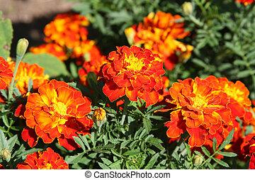 Orange marigolds