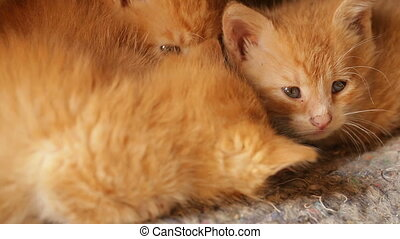 orange, mignon, somnolent, chaton